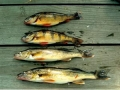 Turtle Flowage-Perch & Walleye